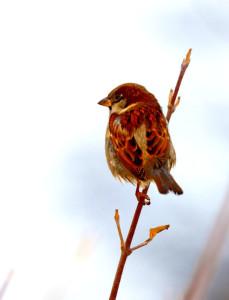 952sparrow