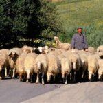 shepherd_2210552b